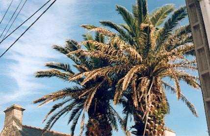 palmier Kerhostin